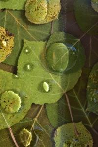 KALI MELLUS, Detail of Aspen Leaves in Resin, photo by Amourette Bradley